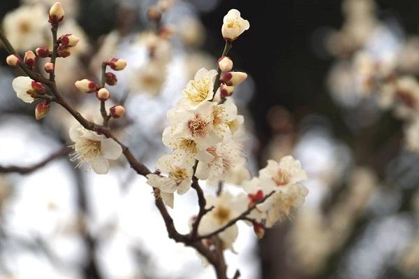 隅田川沿いの梅
