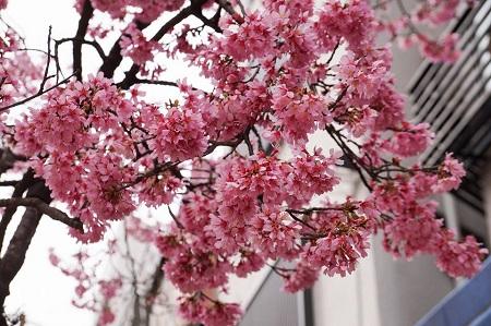浅草六区通りの桜