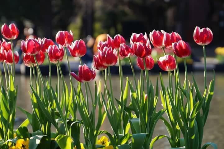 春の陽気とチューリップ