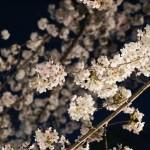 夜桜@浅草神社