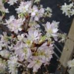 啓翁桜、満開