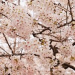 隅田川の桜:満開