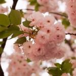 八重桜も満開