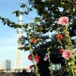 季節の花:立葵(たちあおい)