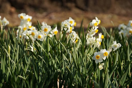 季節の花:水仙